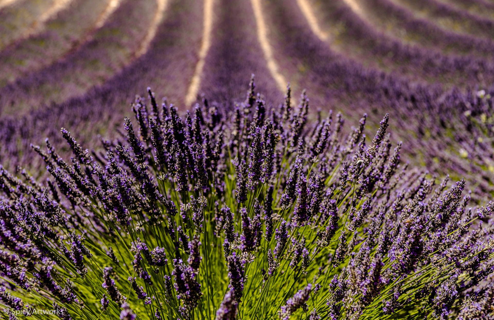 THE COLOR OF PURPLE OR THE PERFUME OF THE FIELDS - PROVENCE 2017 - Part 1: Between Lavender fields and vineyards